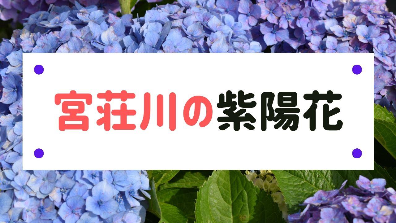 宮荘川の紫陽花
